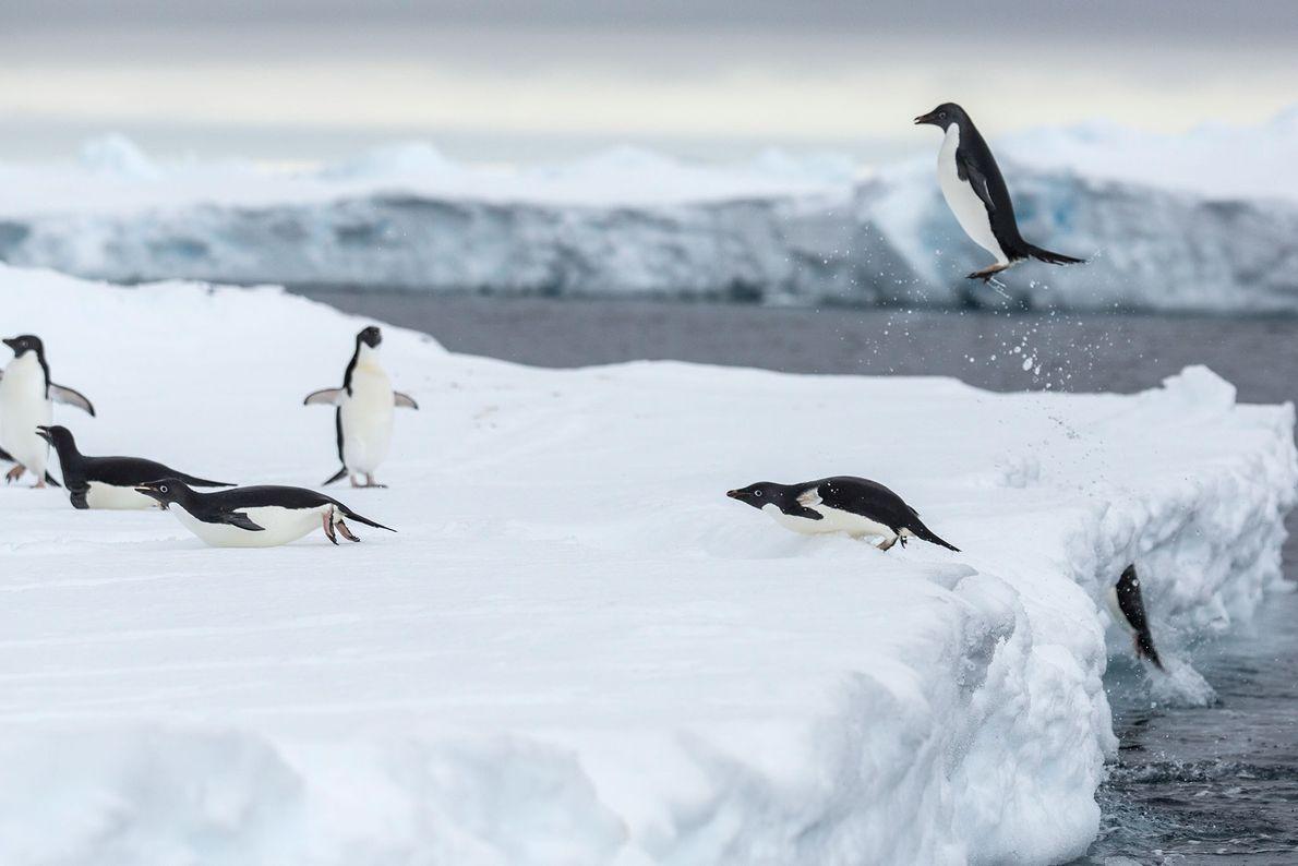 Durch den Klimawandel werden auch die Nahrungsgründe der Pinguine beeinflusst.