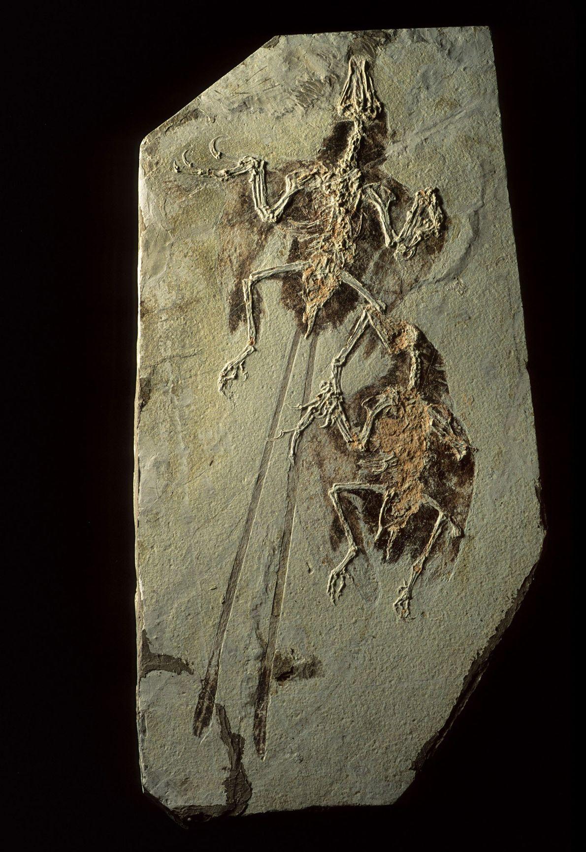 In den Fossilfundstätten von Liaoning in China fanden sich nicht nur Dinosaurier, sondern auch urzeitliche Vögel ...