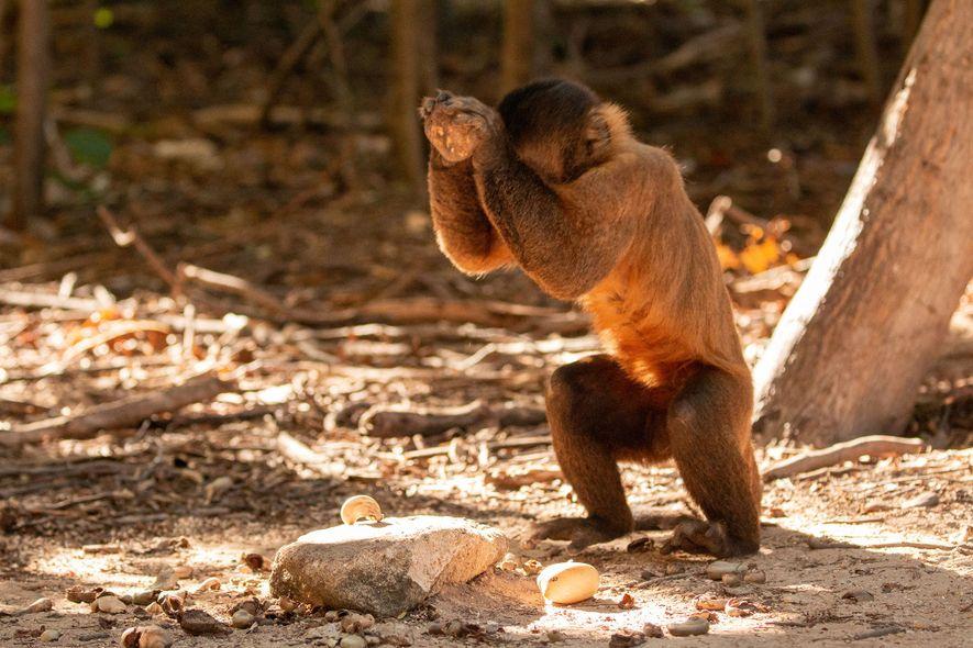 Um die harte Schale der Cashews zu knacken, schlagen die Kapuzineraffen mit rundlichen Steinen darauf ein. Für ihre kräftigen Schläge setzen sie ihren ganzen Körper ein, ähnlich wie die Werfer beim Baseball.
