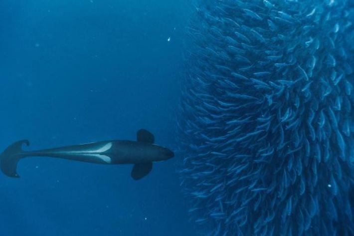 Ein Schwertwal passt auf, dass aus dem Heringsschwarm kein Fisch ausbricht und entwischt.