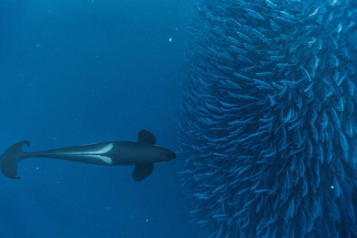 Orcas sind intelligente Jäger und nutzen unterschiedliche Techniken, um ihre Beute zu fangen. Hier drängt ein ...