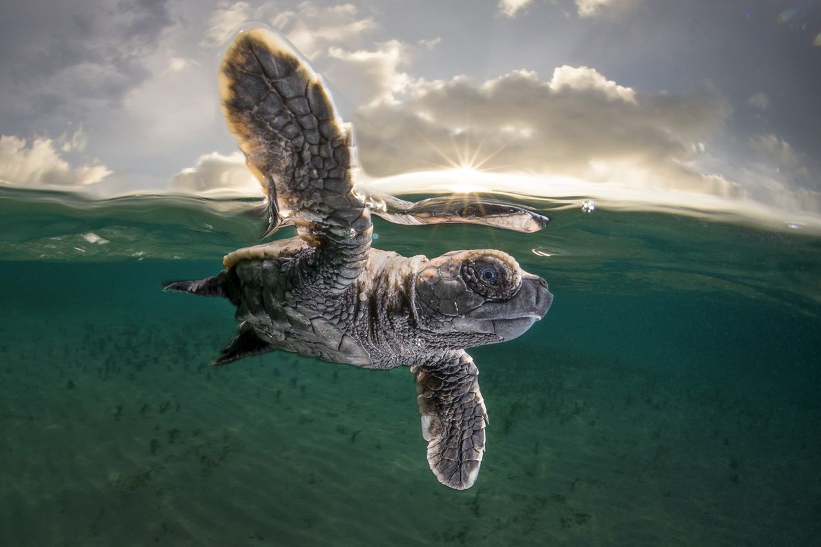 Echten Karettschildkröte