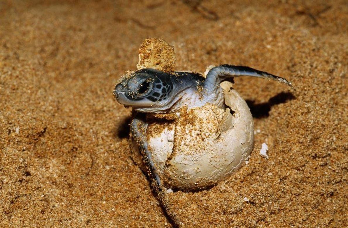 An einem Strand schlüpft eine Meeresschildkröte.