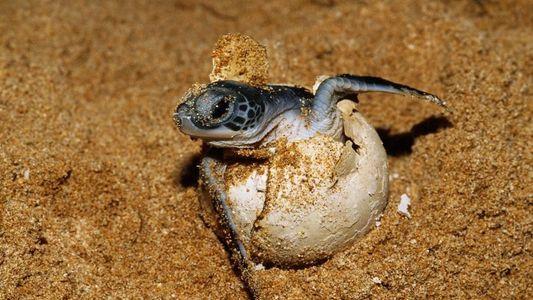 Galerie: Über 99 % Weibchen – Riesige Kolonie von Meeresschildkröten vor dem Aus?