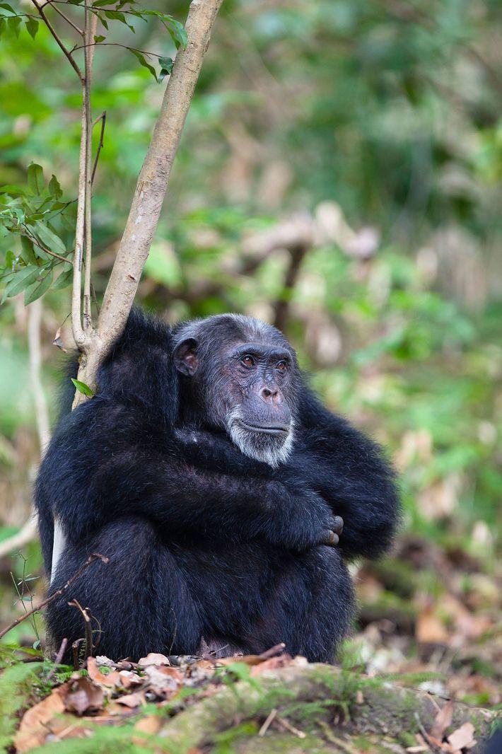Schimpansenmännchen