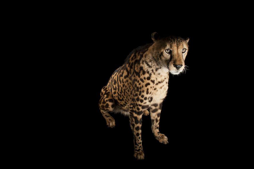 Geparden (wie dieses Tier aus dem Zoo in Miami) sind mit Großkatzen nicht eng verwandt und ...
