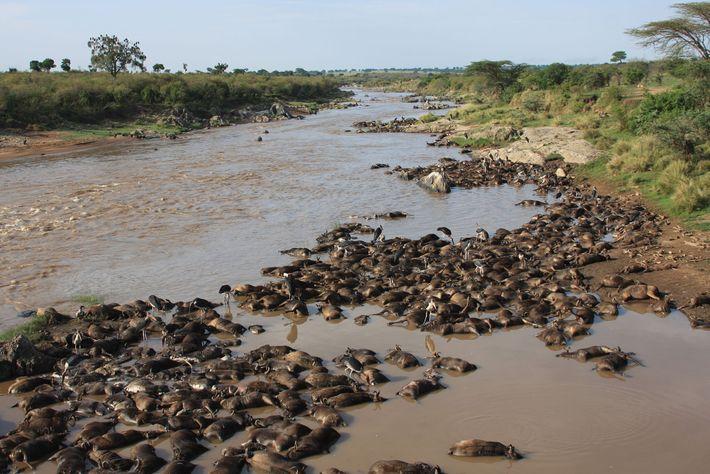 Tote Gnus säumen die Ufer des Mara