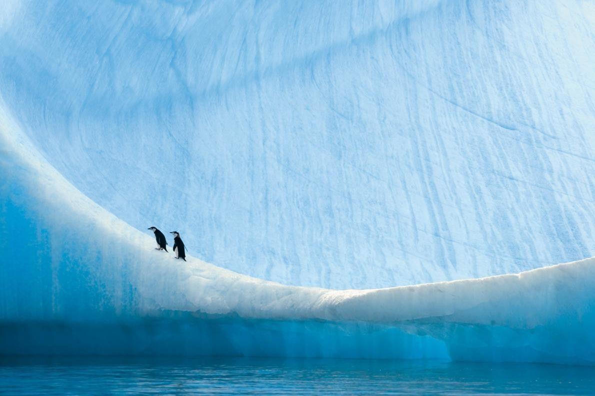 Zwei junge Zügelpinguine am Rand eines Eisbergs