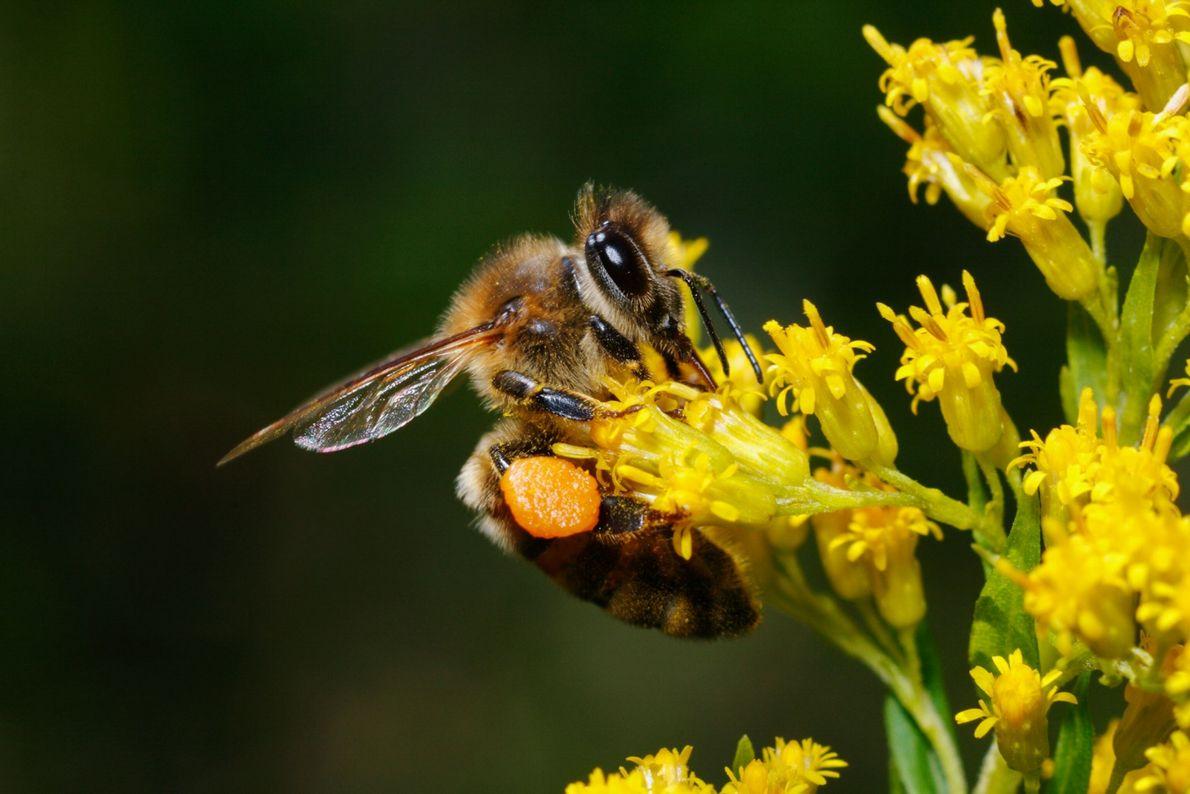 Eine Biene sammelt Pollen an ihren steifen Beinhärchen, auch Pollenkörbchen genannt, den sie als Futter für ...