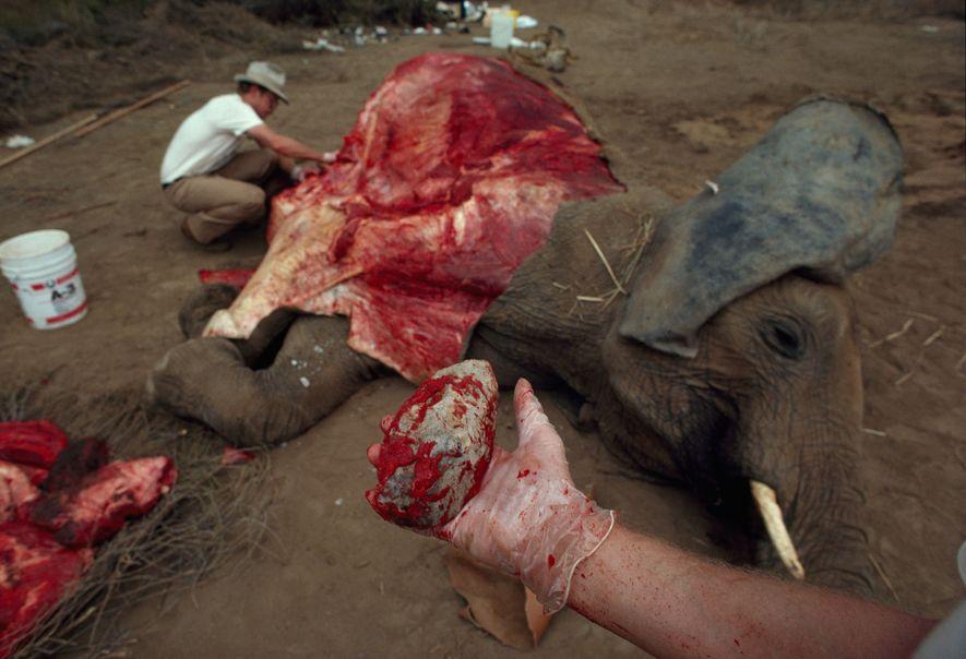 An einem eines natürlichen Todes gestorbenen Elefanten testeten Archäologen, wie schnell sie Fleisch mit primitiven Steinwerkzeugen ...