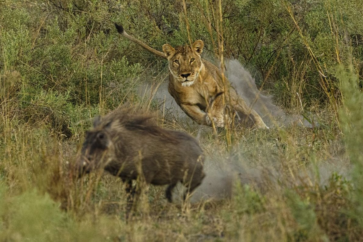 Die Augen auf ihre Beute gerichtet, stürmt eine Löwin aus dem Hinterhalt hervor. Trotz der relativ ...