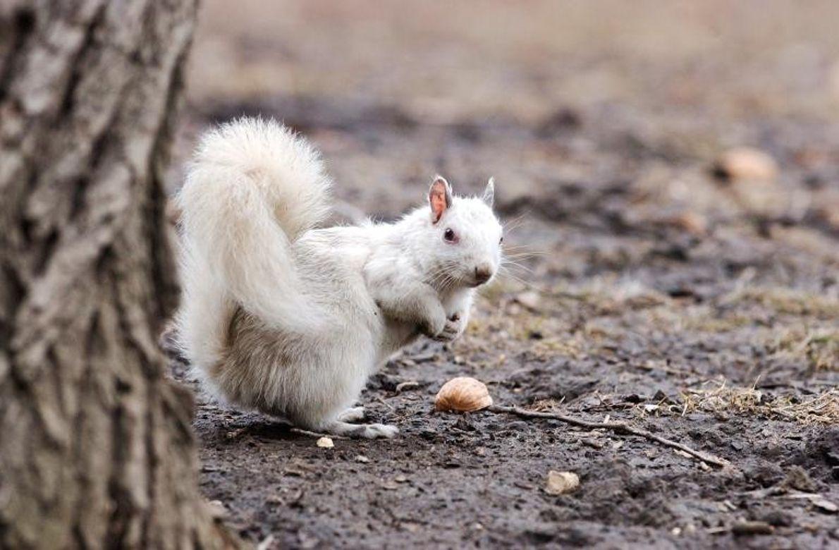 Weißes Eichhörnchen