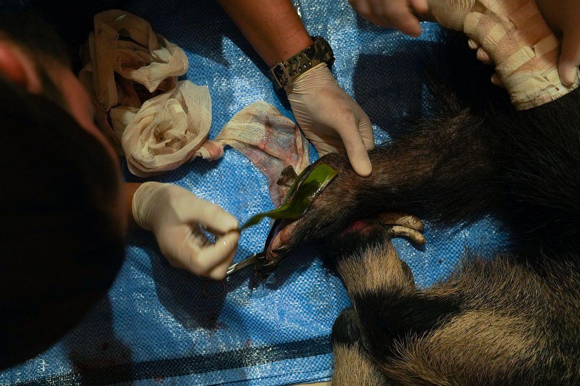 Ameisenbär Amazonas