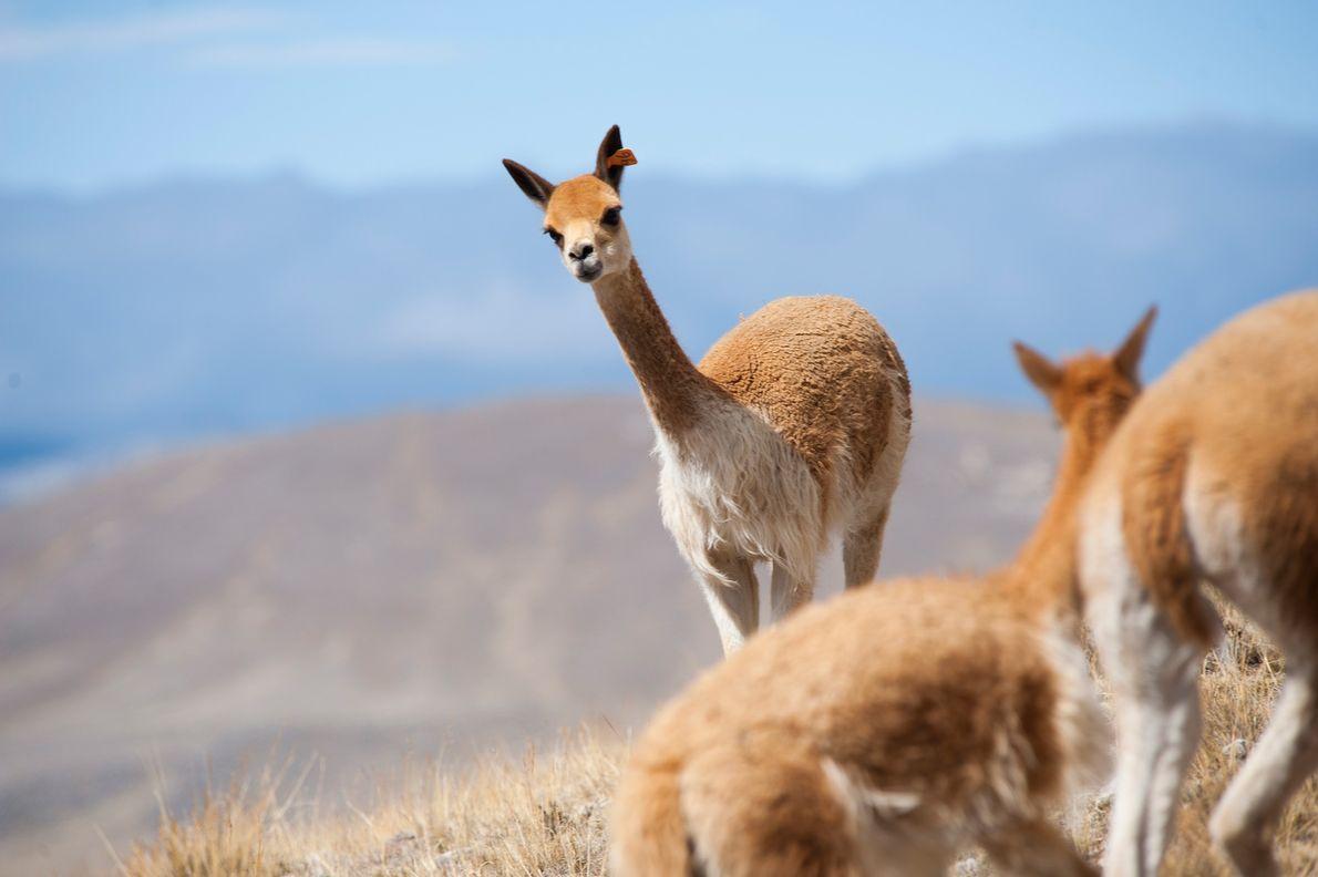 Ein wildes Vikunja sucht nach einem Fluchtweg, als seine Herde bei Picotani in Peru wie jedes ...