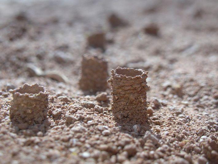 Eine große Kolonie von Bienen der Gattung Diadasia haben ihre Nester mitten auf der Schotterpiste gebaut, ...