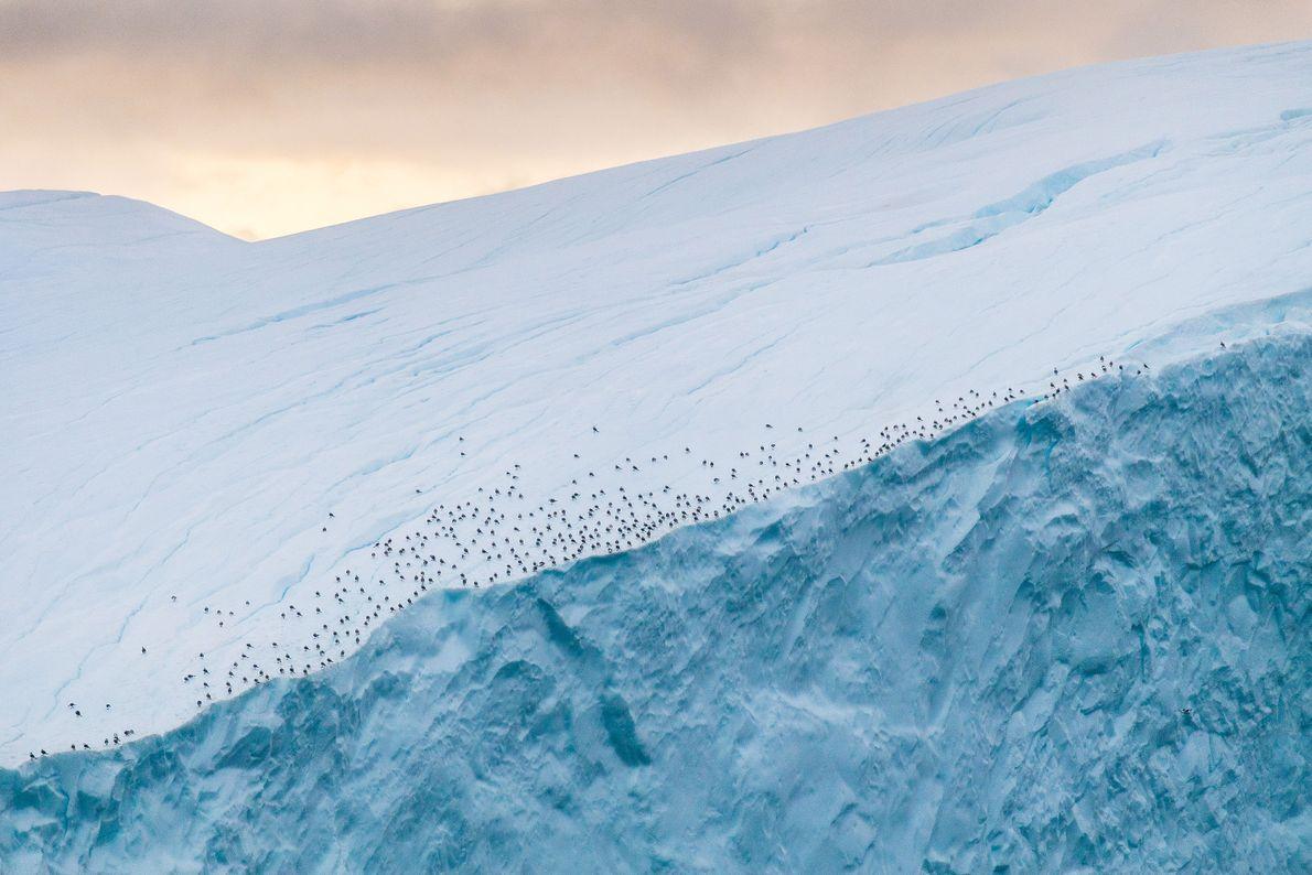 Am Rande eines Eisbergs in der Nähe des Ilulissat-Eisfjords in Grönland ruhen sich Vögel aus.
