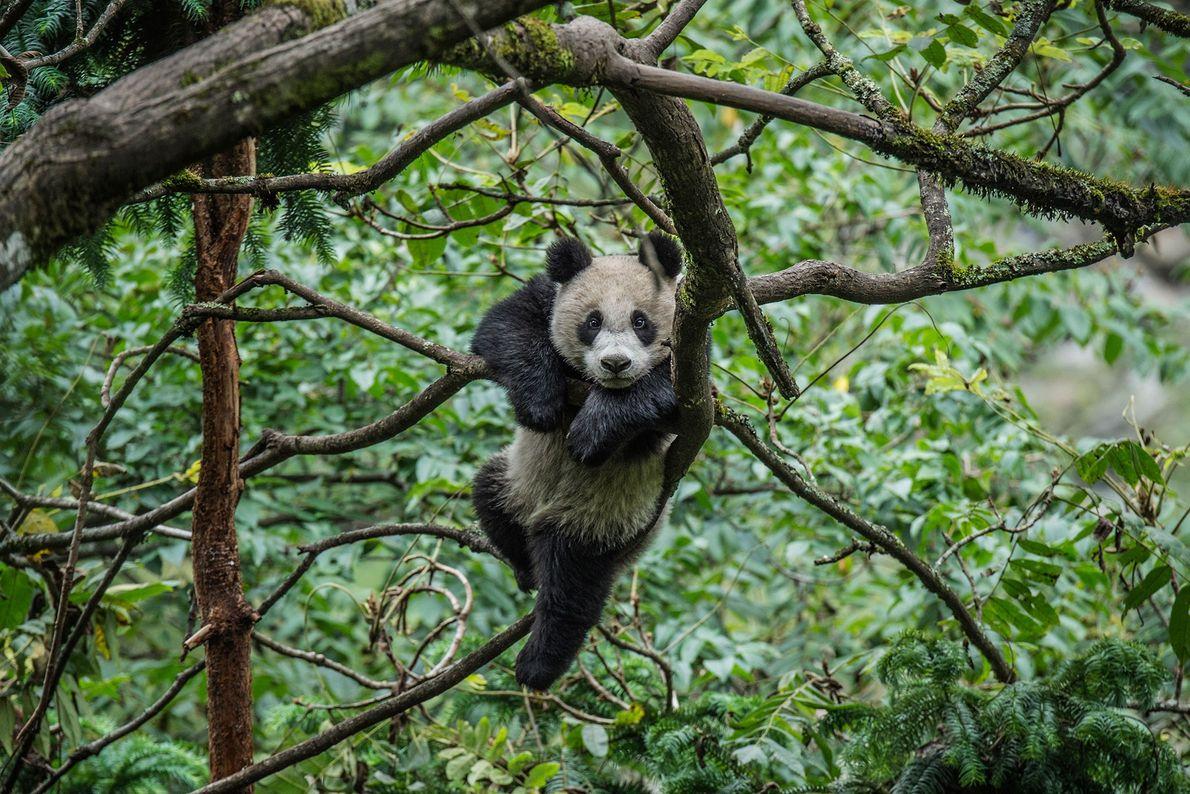 Ein Riesenpanda spielt in den Bäumen seines Geheges im Wolong Giant Panda Research Center, China.