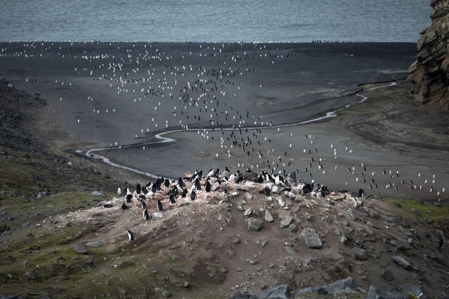Zügelpinguine auf Baily Head, einem natürlichen Amphitheater im Südosten von Deception Island.