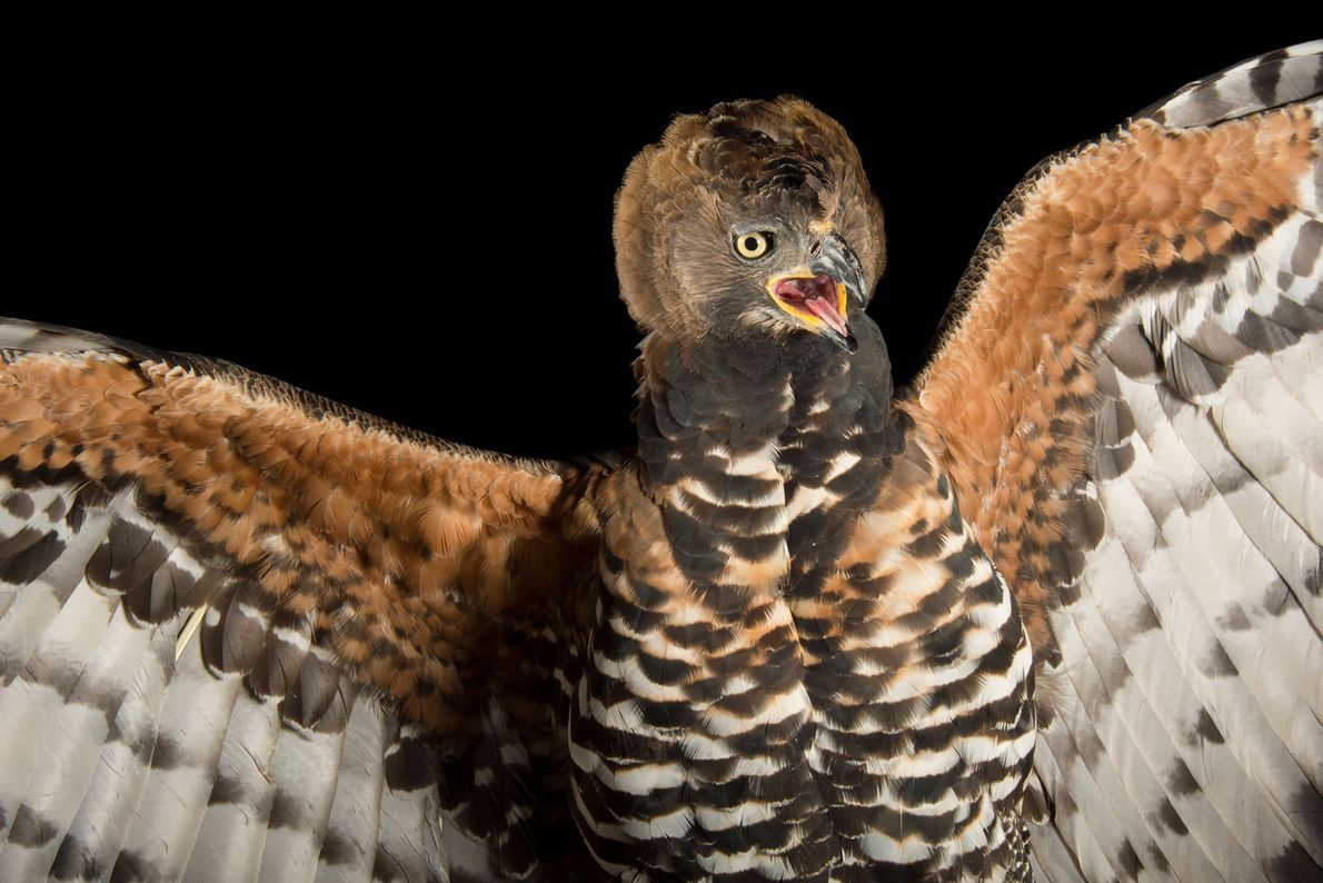 Ein Kronenadler (Stephanoaetus coronatus) im Zoo von Los Angeles. Er zählt zu den größten Adlern in ...