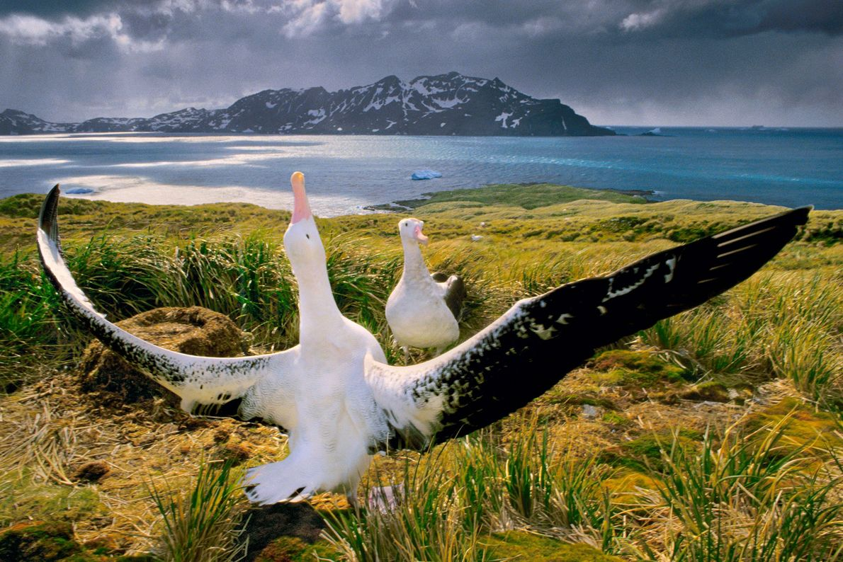 Albatrosse balzen auf Südgeorgien im Südatlantik.