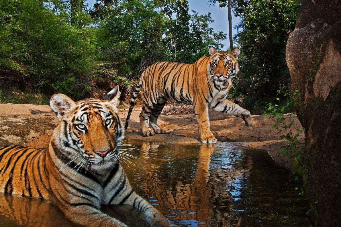 Tiger an Wasserloch