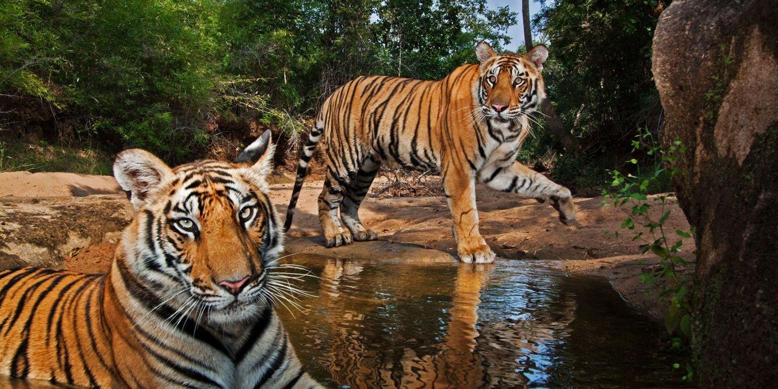 15 Bilder zeigen die Anmut und Kraft von Tigern