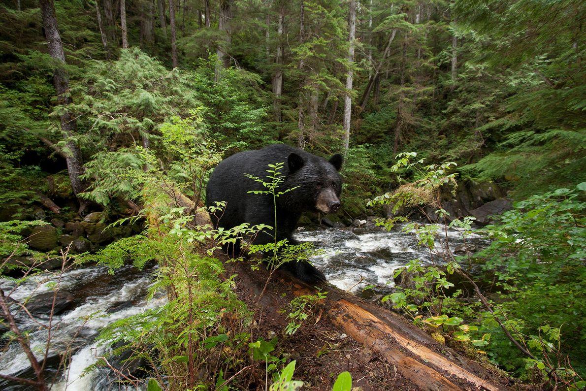 Eine genetische Mutation mancher Schwarzbären sorgt für das weiße Fell der Kermodebären. Eine Studie aus dem ...