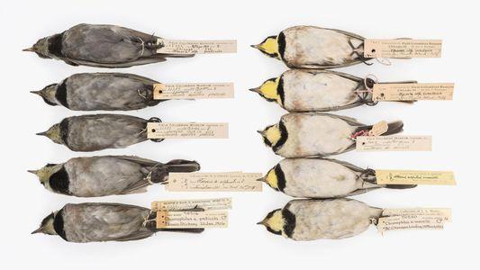 Schwarze Vögel durch Luftverschmutzung – eine Lektion für die Gegenwart