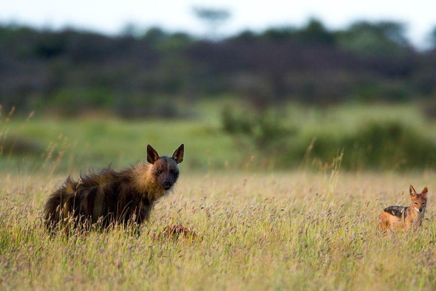 Im Khama Rhino Sanctuary in Botswana frisst eine Schabrackenhyäne an einem Kadaver.