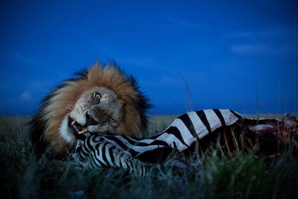 Löwe beim Fressen