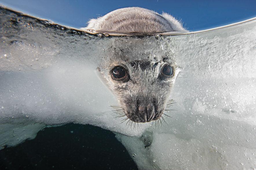 Sattelrobben-Welpen werden auf dem Eis geboren und benötigen einen stabilen Untergrund, um zu überleben. Die Meereseisdecke ...