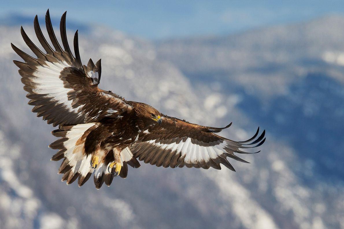 Steinadler wie dieser Jungvogel in Norwegen bevorzugen offene Bergregionen. Sie können sich selbst bei starkem Wind ...