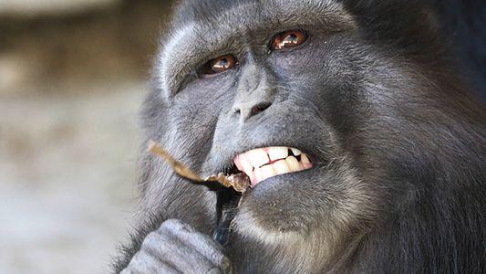 Erstaunlicher Fall: Affenmutter frisst mumifizierten Nachwuchs
