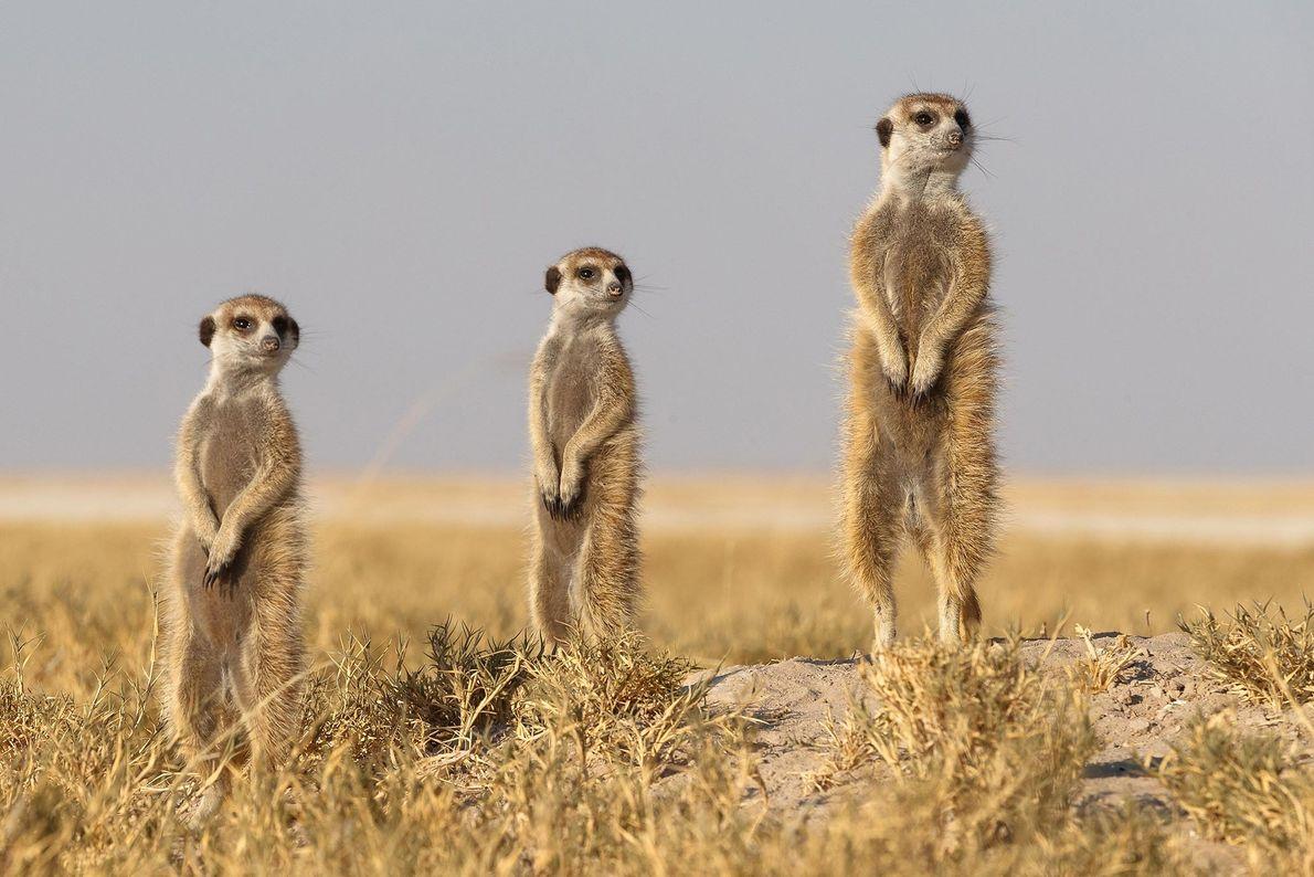 Erdmännchen. Makgadikgad-Salzpfannen, Botswana