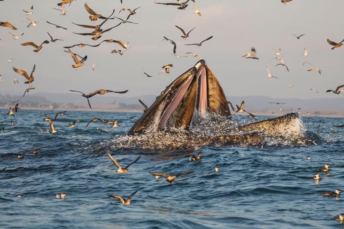 Im warmen Wasser der kalifornischen Monterey Bay machen Buckelwale Jagd auf Fisch.