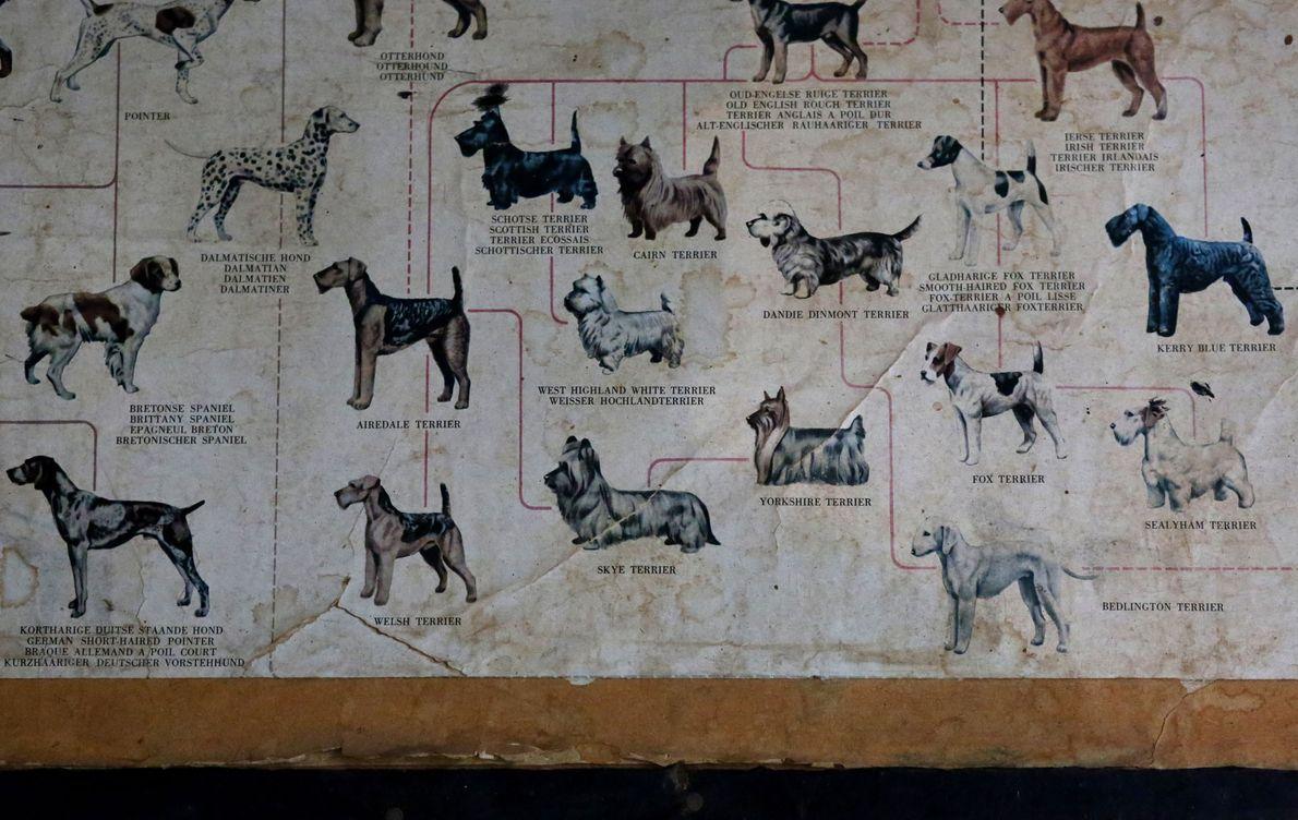 Ein altes Schaubild im Büro eines Veterinärtechnikers in Kigali zeigt verschiedene Hunderassen. Die meisten Tierärzte führen ...