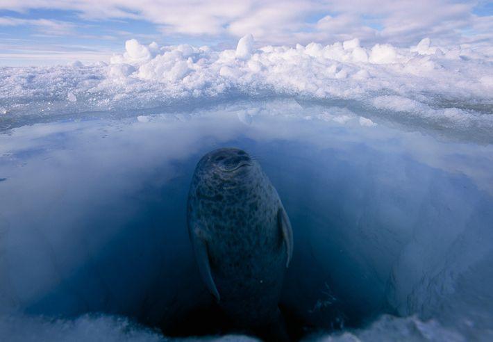 Eine Ringelrobbe taucht in der Arktis aus einem Loch im Meereis auf. Um sich warm zu ...