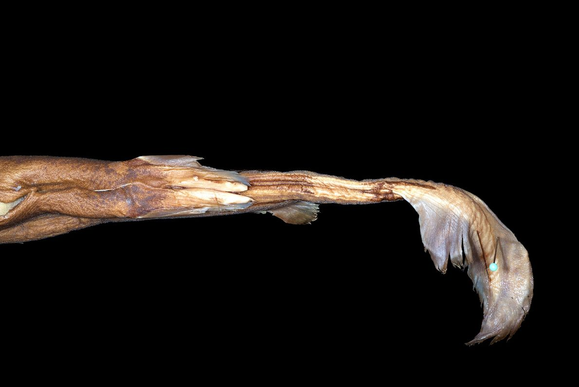 Laternenhai