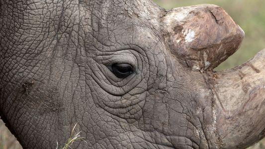 Letzter Nördlicher Breitmaulnashornbulle gestorben