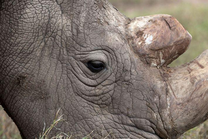 Sudan das Breitmaulnashorn