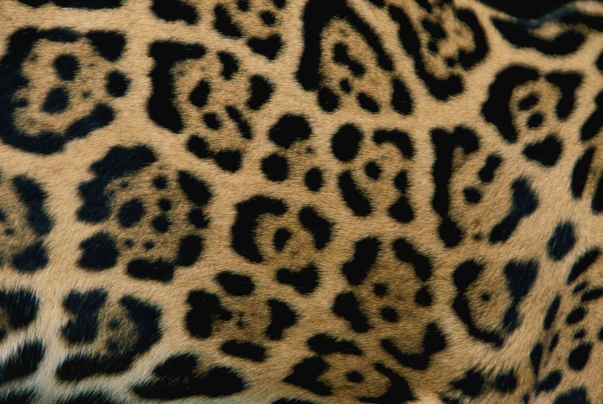 Die Flecken eines Jaguarfells.