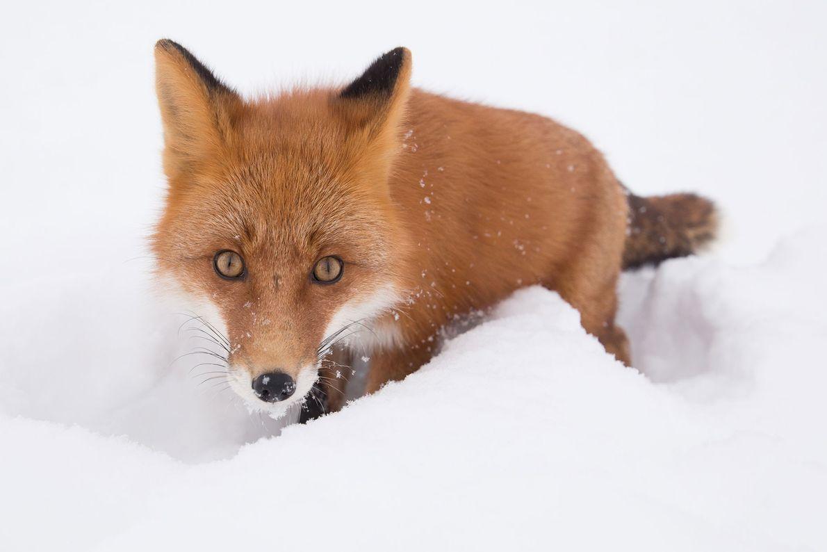 Fuchs.