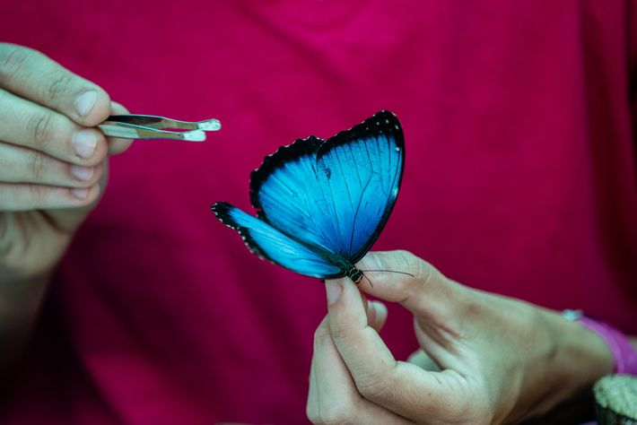 Die Entomologin Carolina Velez untersucht einen leuchtend blauen Morphofalter der Art Morpho helenor peleides.