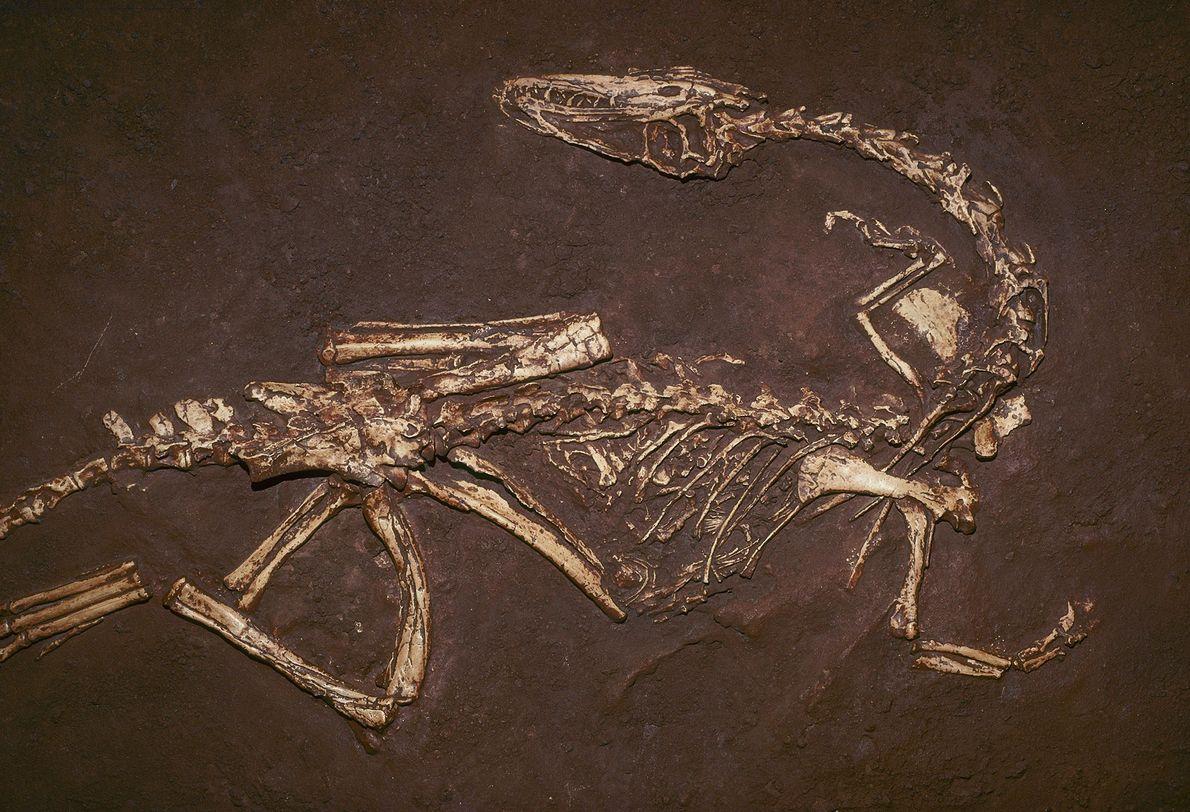 Der etwa 200 Millionen Jahre alte Fleischfresser Coelophysis bauri war einer der ersten Dinosaurier, die im ...
