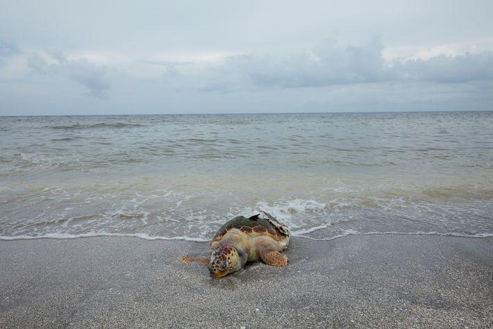 Diese tote Unechte Karettschildkröte gehört zur Rekordzahl der toten Schildkröten, die durch die Blüte der Alge ...