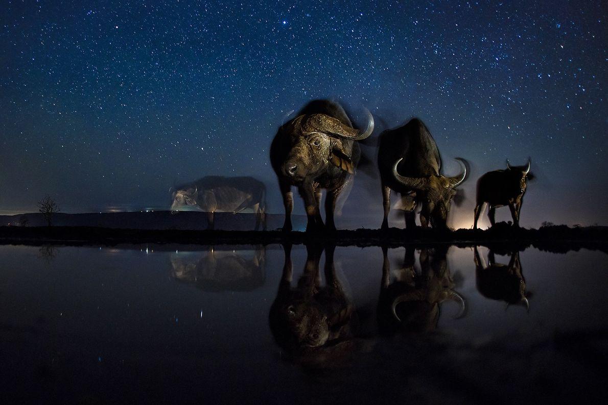 Kaffernbüffel trinken vom Wasserloch