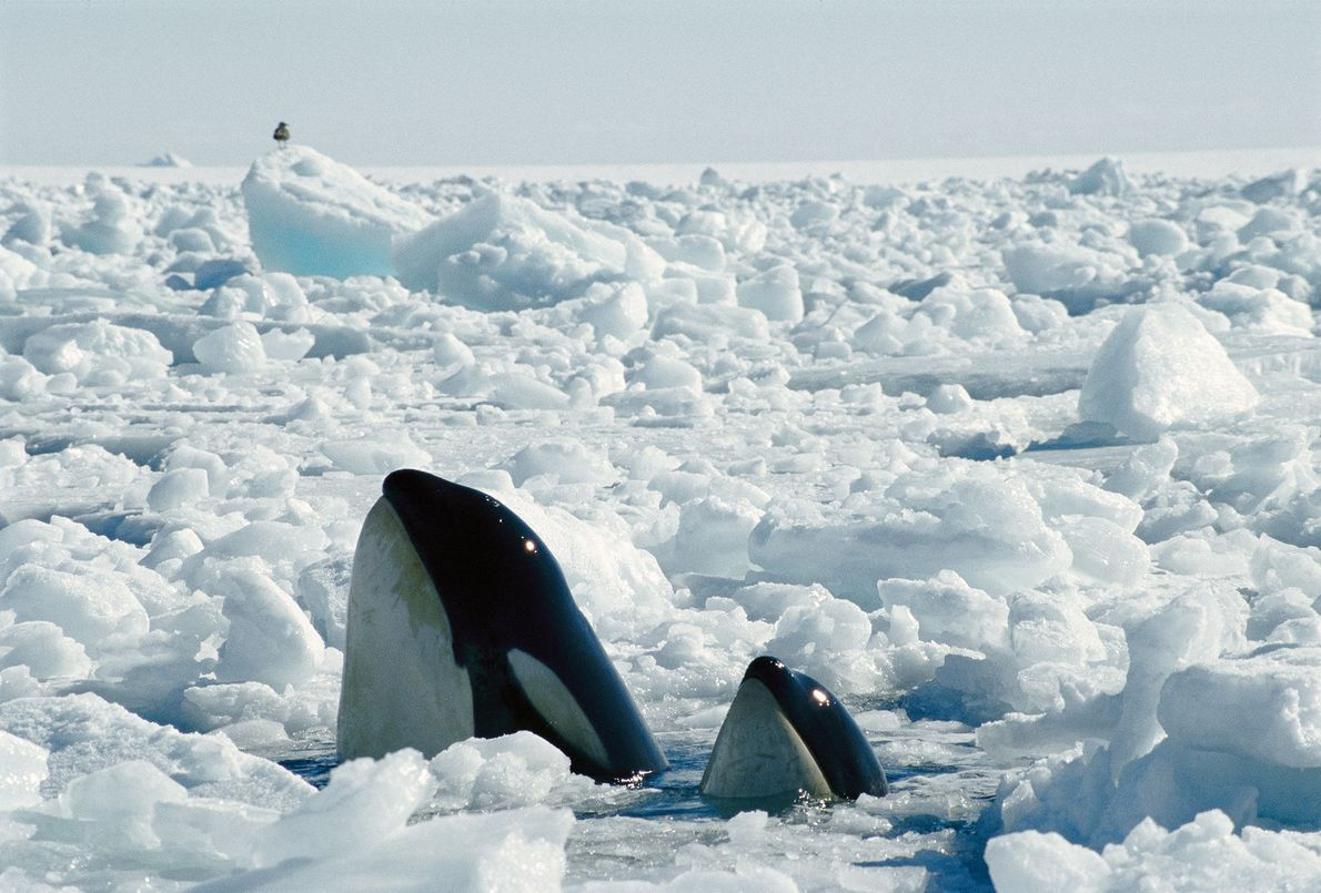 Eine Mutter und ihr Kalb finden im antarktischen McMurdo-Sund ein Loch im Eis, um Luft zu ...