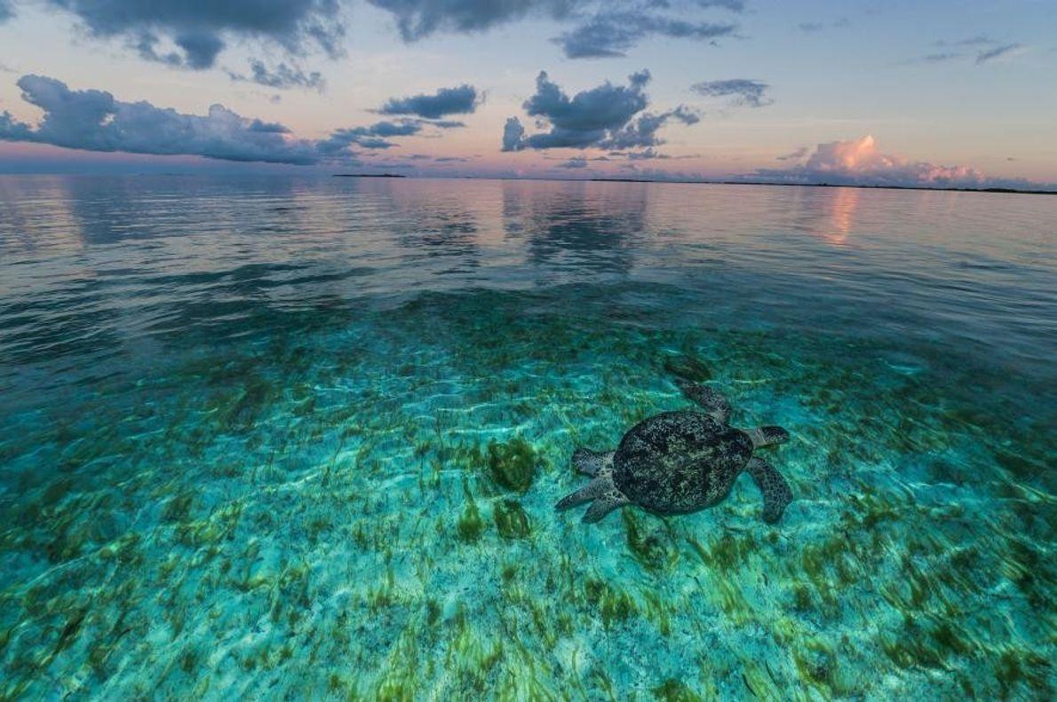 Eine Meeresschildkröte schwimmt im seichten Wasser.