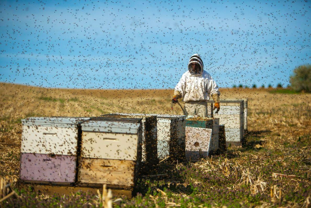 Nach einigen Stichen der Biene entwickelt der Körper der Imker eine Toleranz.