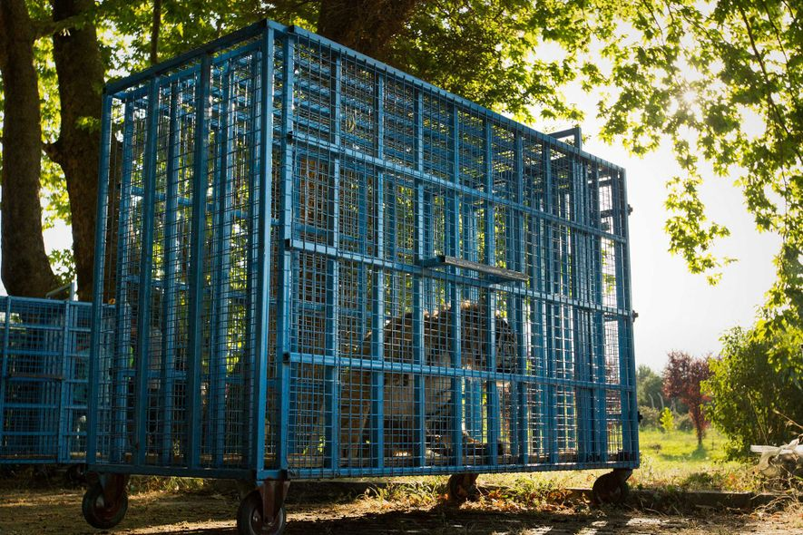 Im Rehabilitationszentrum in der Türkei erlitt der Tiger Sultan einen Herzstillstand, als er für seine tierärztliche ...